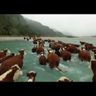 Spectacular aerial video of a herd of Hereford cattle in New Zealand (Videofragment)